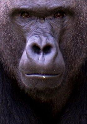 이보, 동물원 고릴라의 일생의 포스터